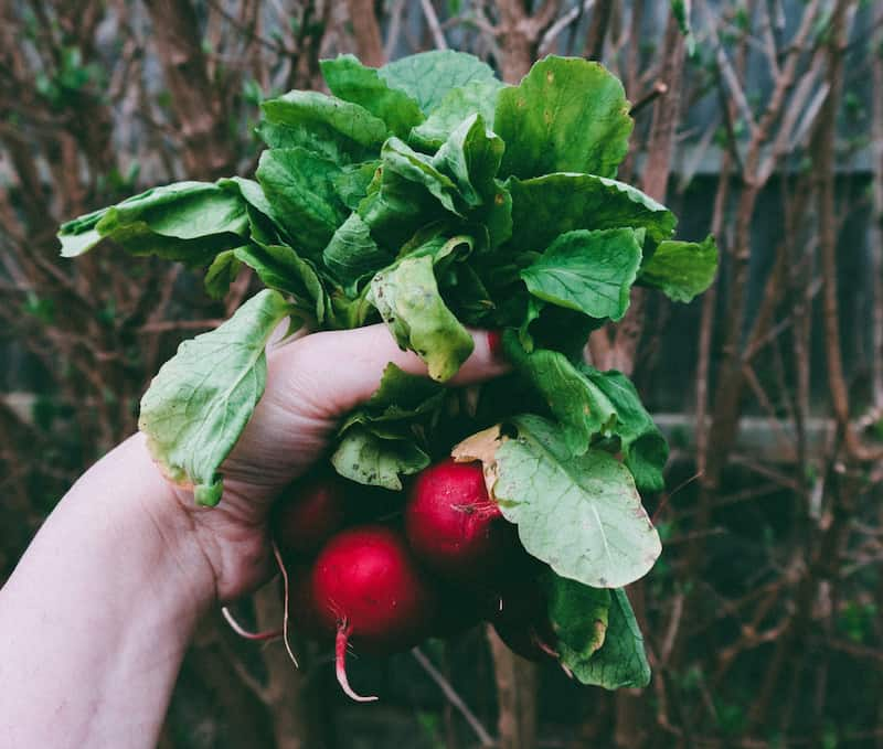 a handful of freshly picked radishes