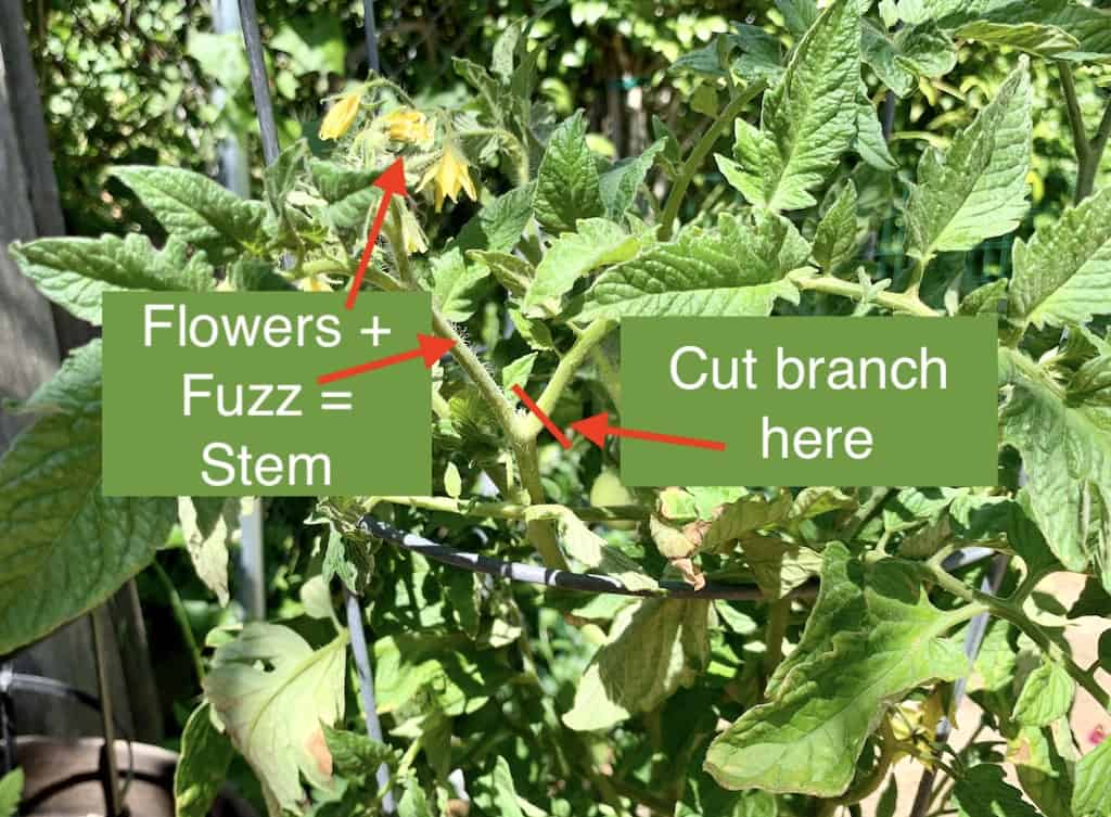 flowers + fuzz = stem, so once you identify the branch, you can prune it