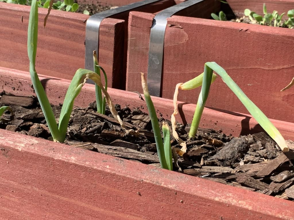 green onions from my victory garden