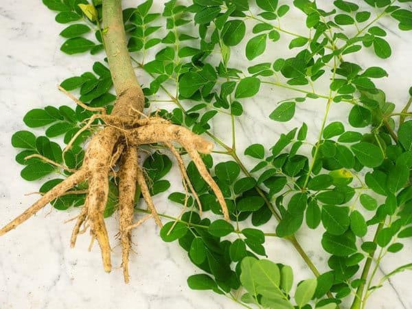 dwarf moringa with roots and leaves