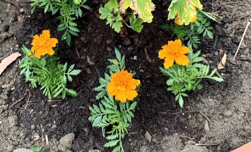 I planted my marigolds as a companion plant
