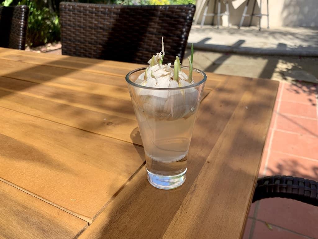 a cup of water with a sprouting garlic bulb sitting on top