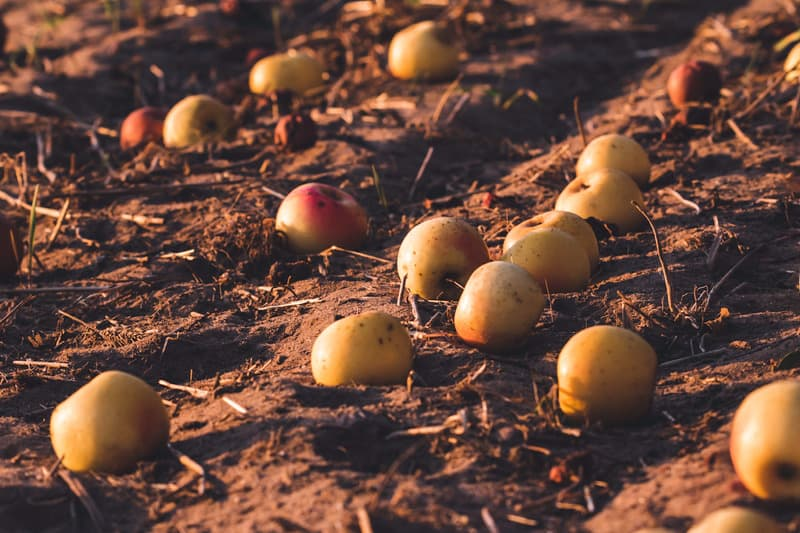 apples laying in the dirt, starting to rot