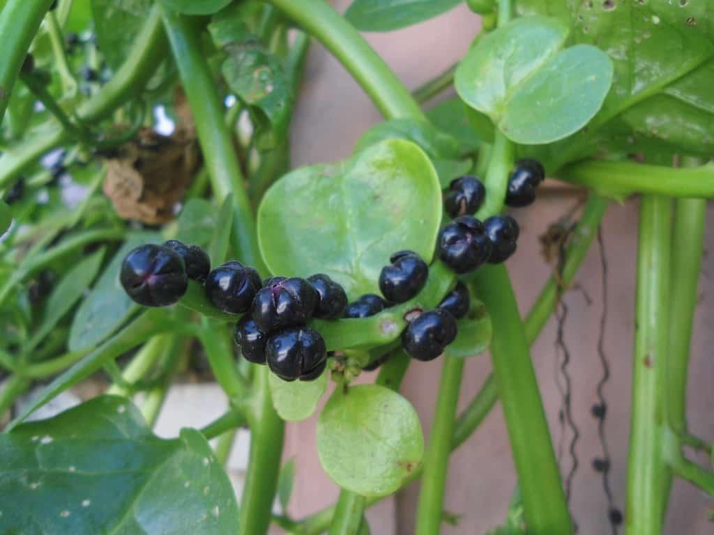 malabar spinach berries