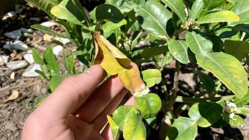 my kaffir lime tree with yellow and curling leaves