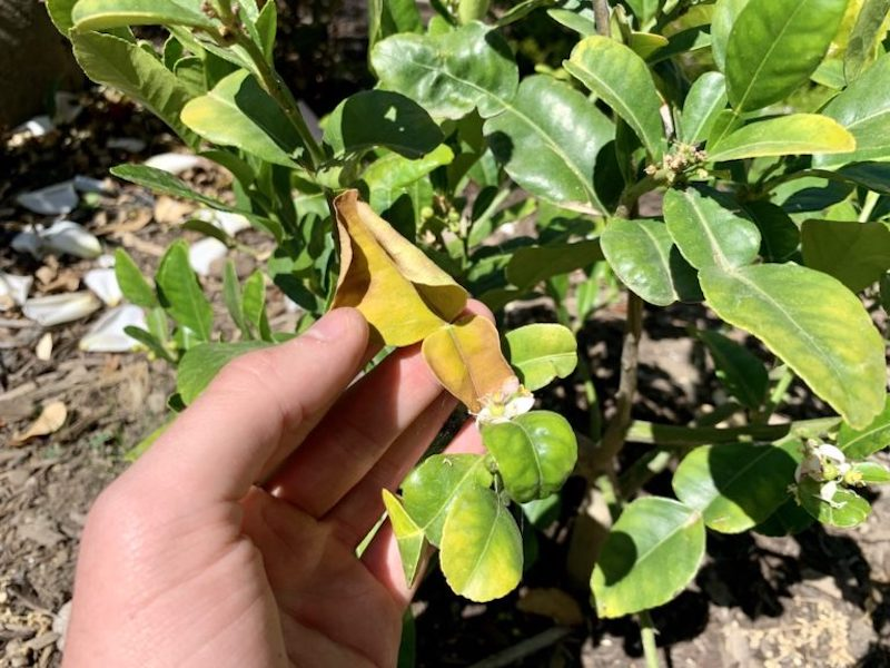 my kaffir lime tree with yellow leaves
