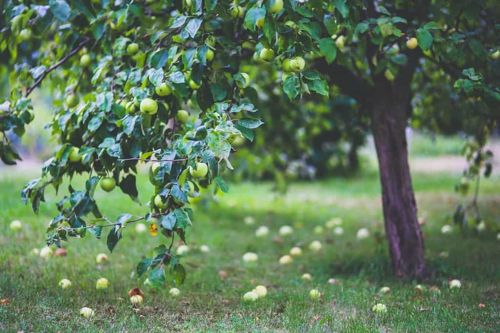 an apple tree creating shade for grass