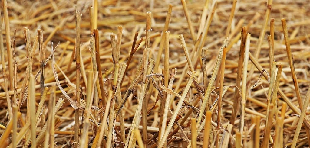 a lot of straw mulch on the ground