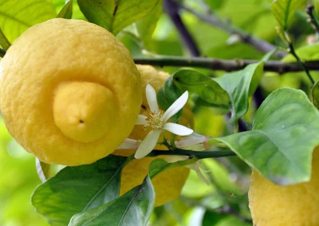 meyer lemon blossom and fruit