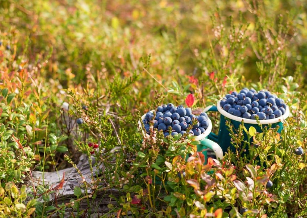 two cups full of blueberries after foraging
