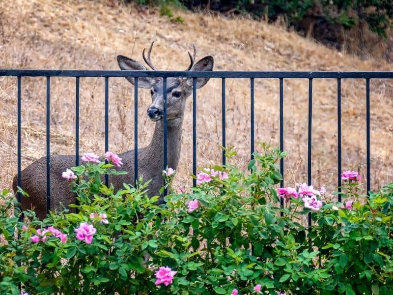 Deer behind a fence with rose bushes in front