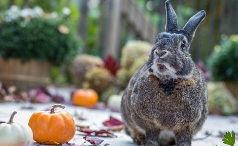 a rabbit next to a small pumpkin