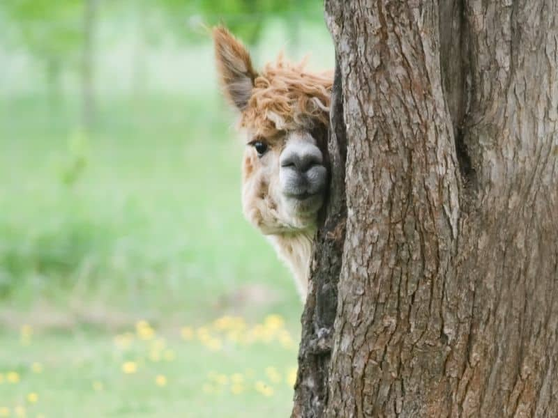alpaca hiding behind a tree