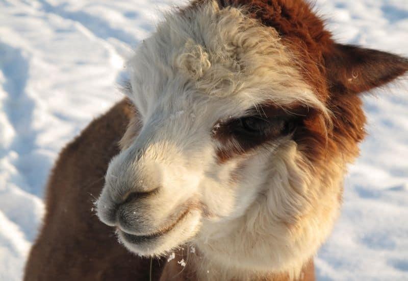 an alpaca in snow