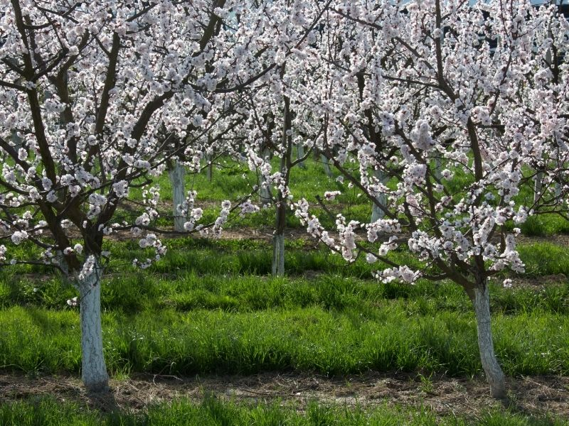 apricot trees blooming with roots poking through the soil