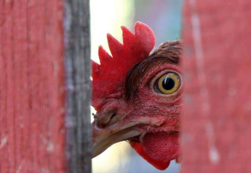 chicken peeking through a fence