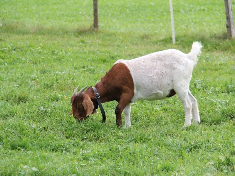 goat grazing on wet grass