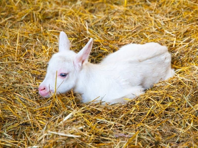 goat in a straw bed