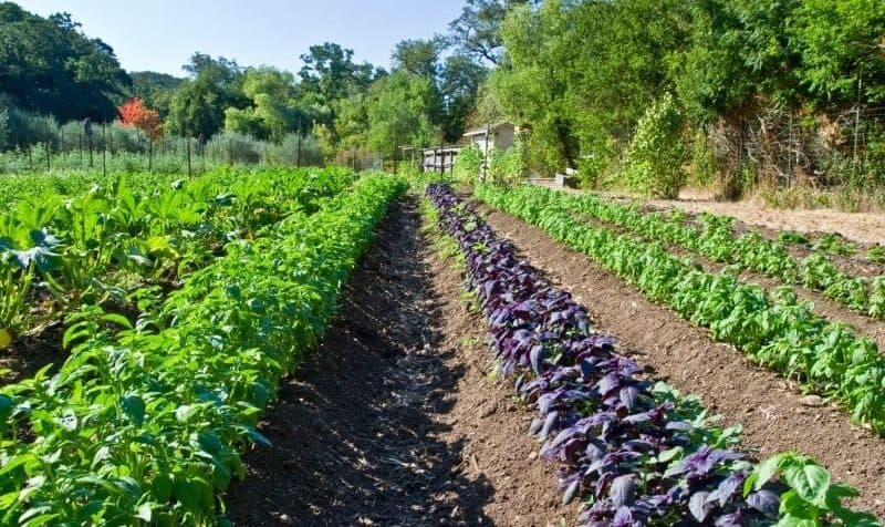 homestead farming with rows of basil plants