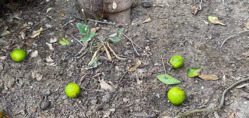 limes that dropped from the tree