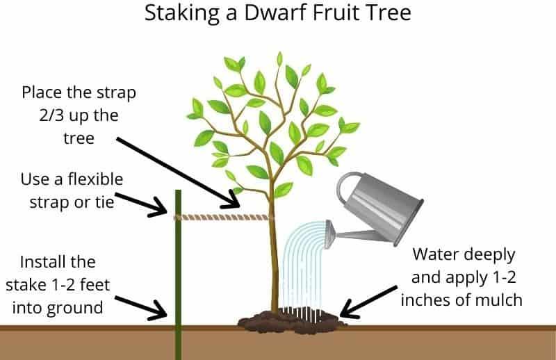 staking a dwarf fruit tree