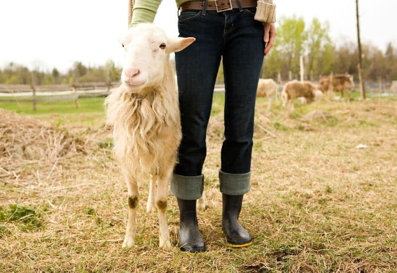 a sheep next to a woman