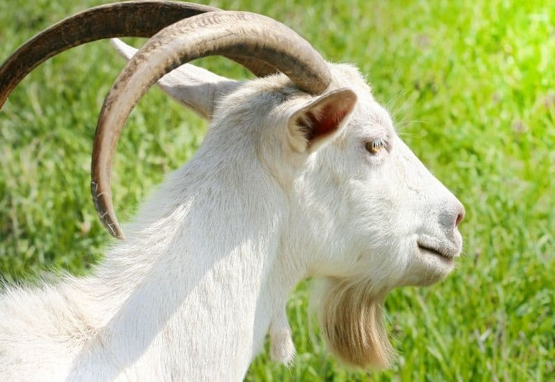 a white goat with long horns
