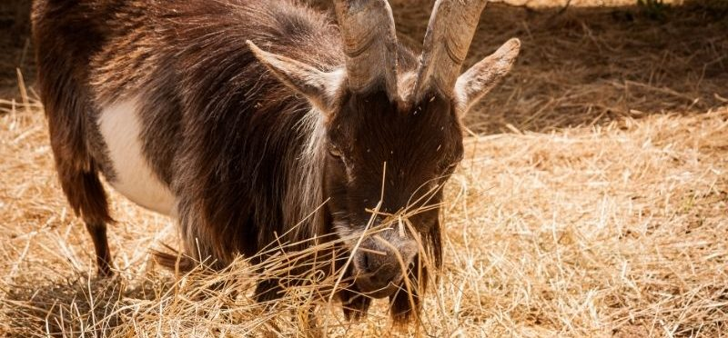 goat eating some dry straw bedding