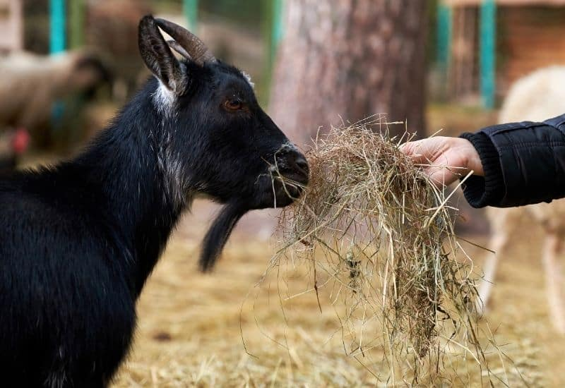 goat eating wet hay