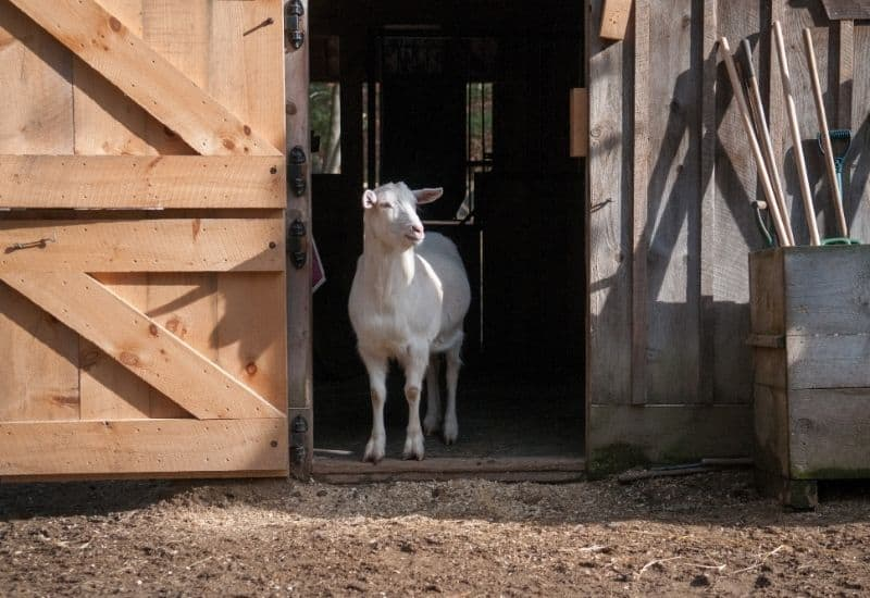 a goat in a barn