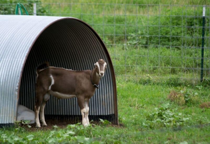 goat in a hoop house