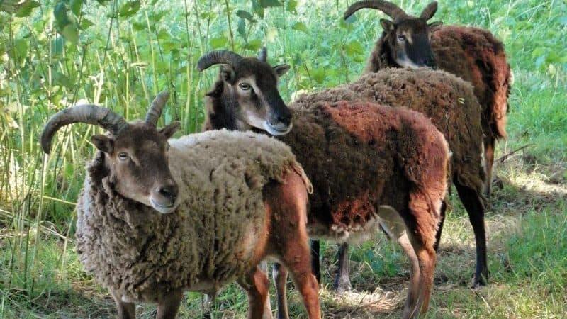 goats grazing an orchard