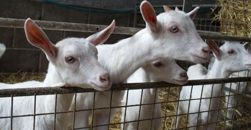 goats in a clean pen