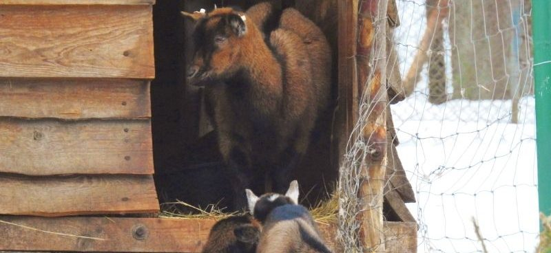 goats in a wooden shelter