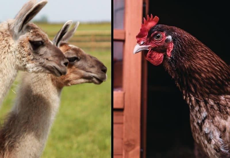 llamas and a chicken