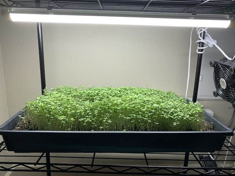 my microgreens growing on a rack