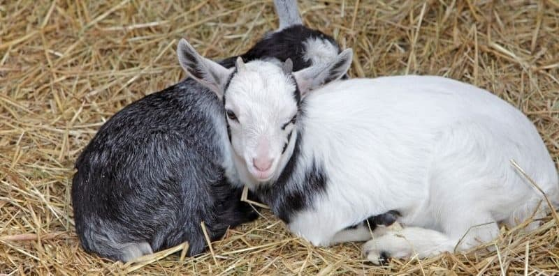 two goat kids laying on a hay bed on the floor