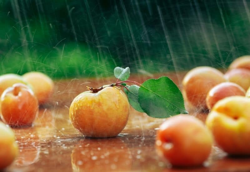 apricots dropped on the ground in the rain