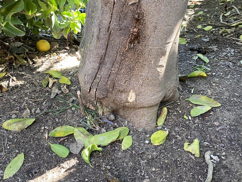our lime tree in clay soil