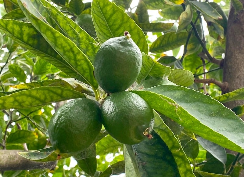 Limes fruiting on a tree