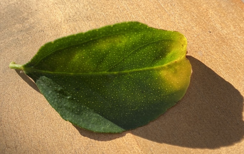 a lime leaf from our tree