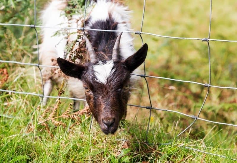goat with its head stuck in the fence