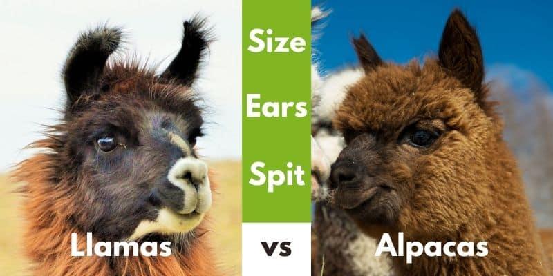 Llamas vs Alpacas