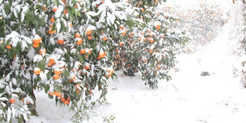 an orange tree in the snow