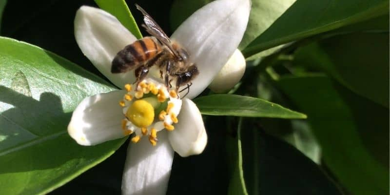 bee on a citrus flower