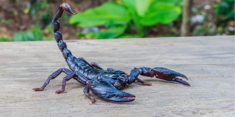black scorpion in the garden
