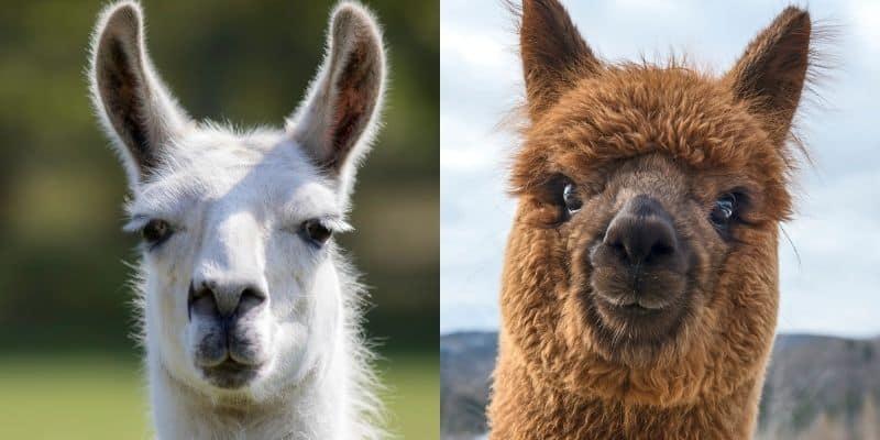 llama vs alpaca ears