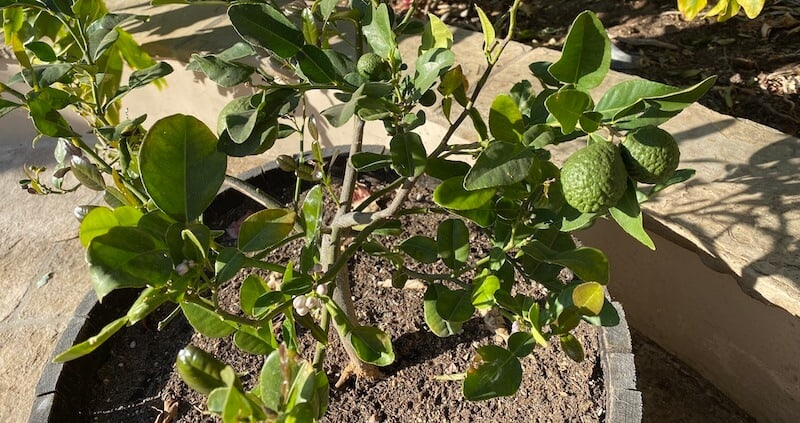 our kaffir lime tree growing some fruit