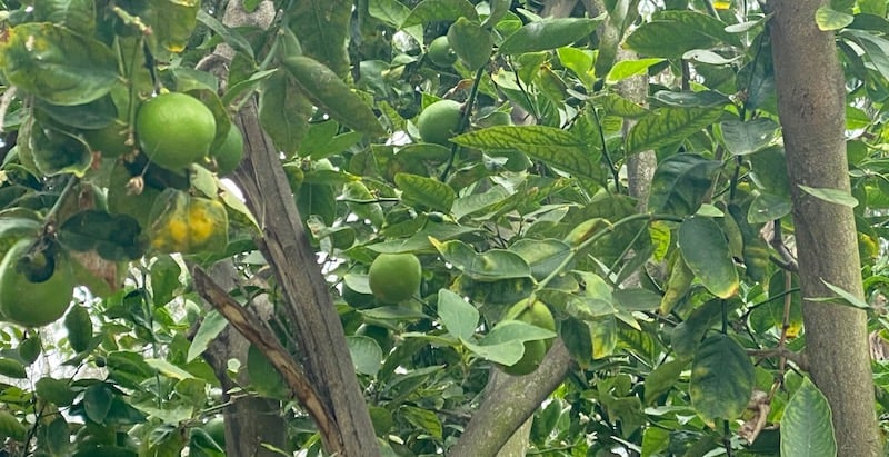 our lime tree with limes growing on it