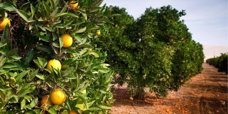 ripe orange trees next to each other
